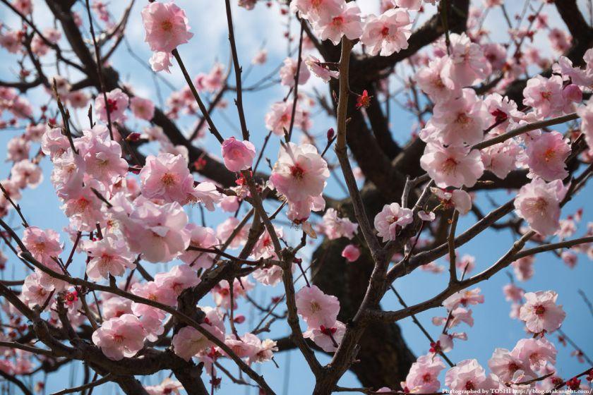 大阪城 梅林 2012年4月 02