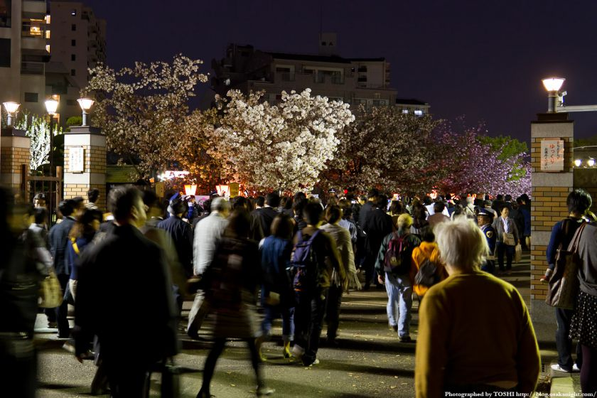 大阪造幣局 桜の通り抜け 夜桜 2012 01