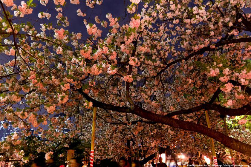 大阪造幣局 桜の通り抜け 夜桜 2012 04