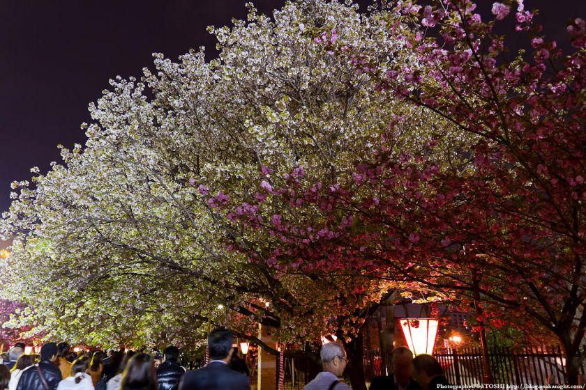大阪造幣局 桜の通り抜け 夜桜 2012 05