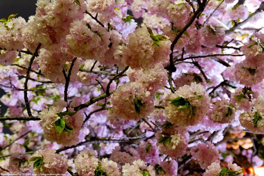 大阪造幣局 桜の通り抜け 夜桜 2012 07