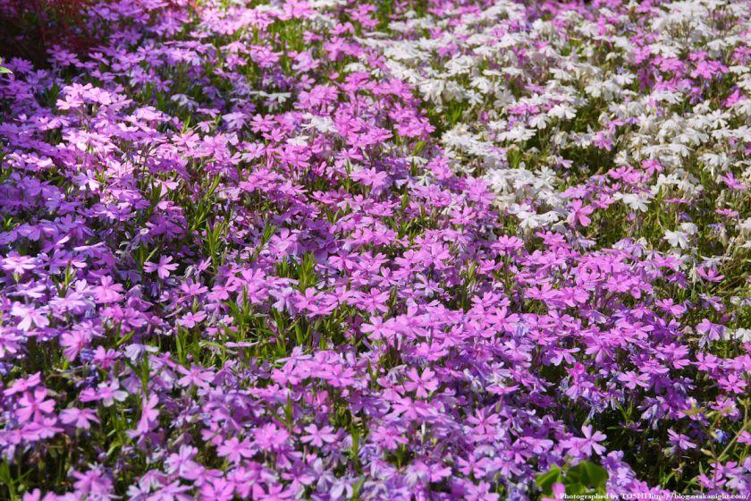 大阪府立花の文化園(フルルガーデン) 2012年4月 07