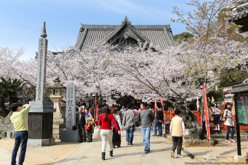 紀三井寺の桜 2013 02