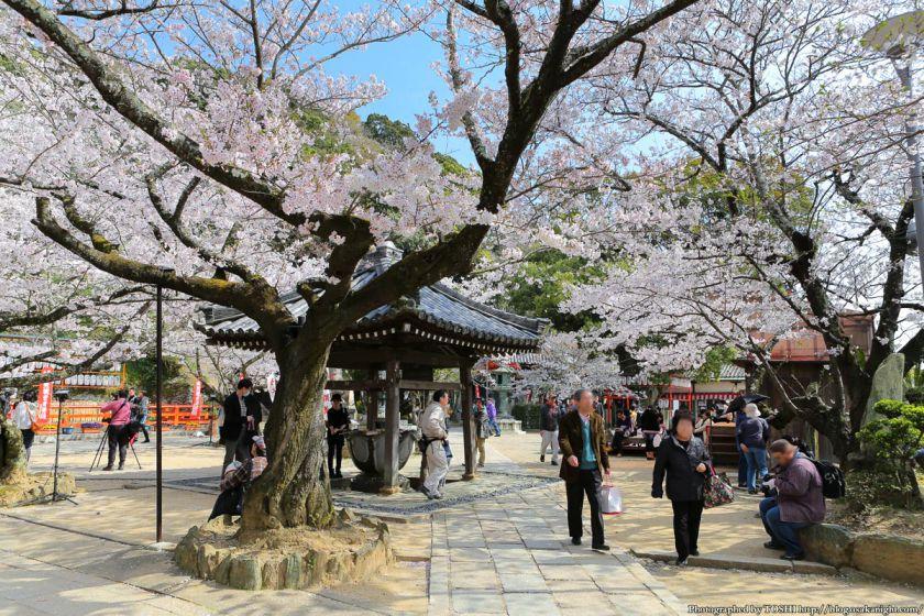 紀三井寺の桜 2013 04