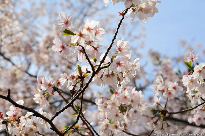 紀三井寺の桜 2013 06