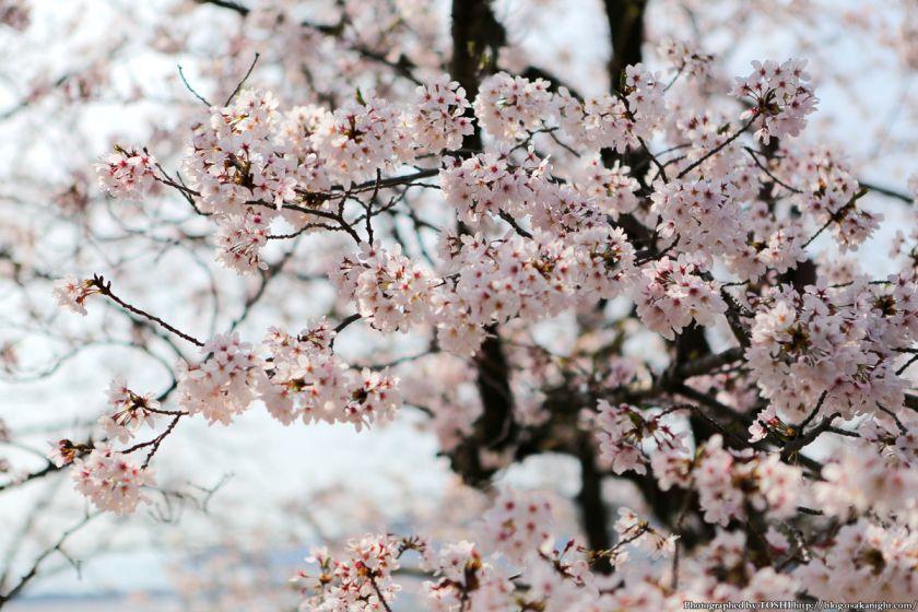 紀三井寺の桜 2013 07