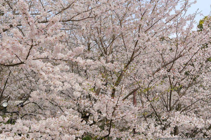 紀三井寺の桜 2013 09
