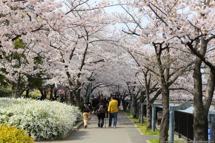 桜之宮公園 桜満開の大川沿い 2013 03