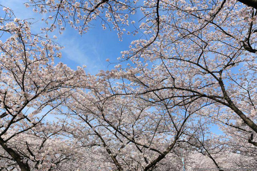 桜之宮公園 桜満開の大川沿い 2013 09