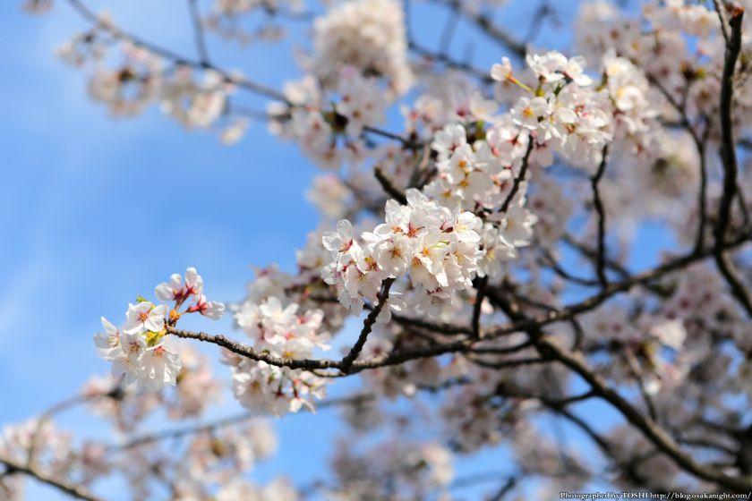 桜之宮公園 桜満開の大川沿い 2013 10
