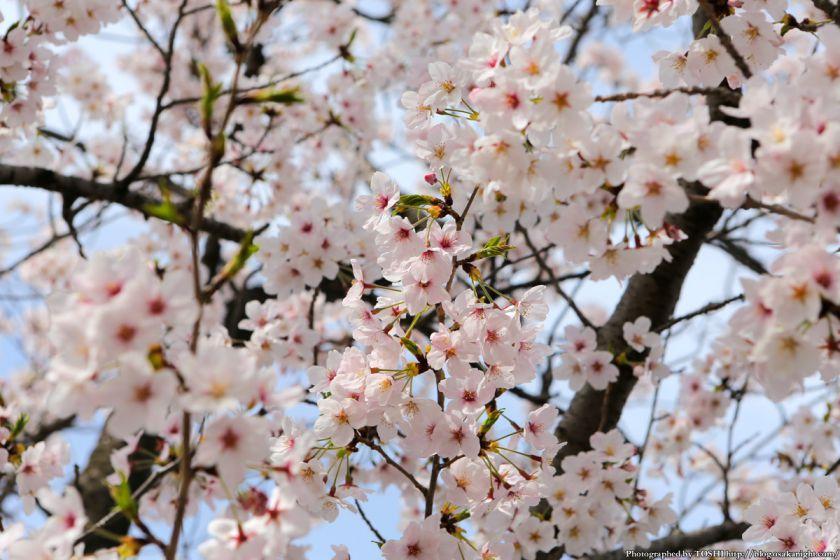 桜之宮公園 桜満開の大川沿い 2013 11