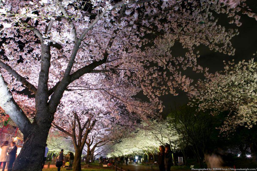 万博公園 桜まつり 2013 06 (夜桜)