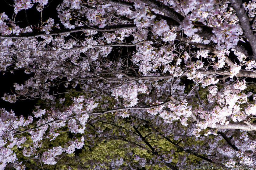 万博公園 桜まつり 2013 08 (夜桜)