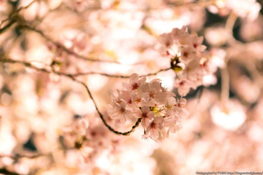 毛馬桜之宮公園 観桜ナイター 2013 10