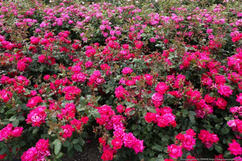 浜寺公園 ばら庭園 2013年5月 02