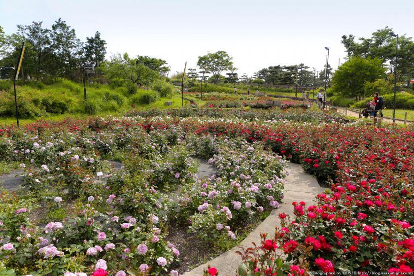 浜寺公園 ばら庭園 2013年5月 03