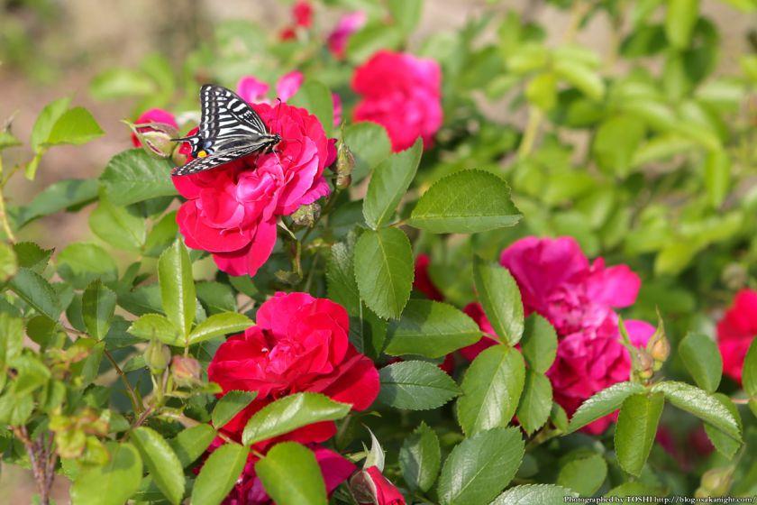 浜寺公園 ばら庭園 2013年5月 04