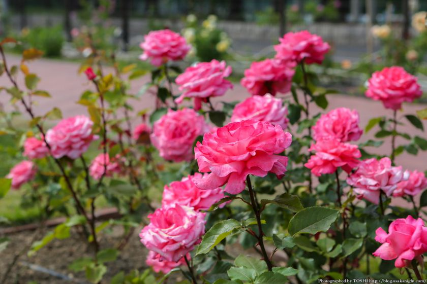 浜寺公園 ばら庭園 2013年5月 06