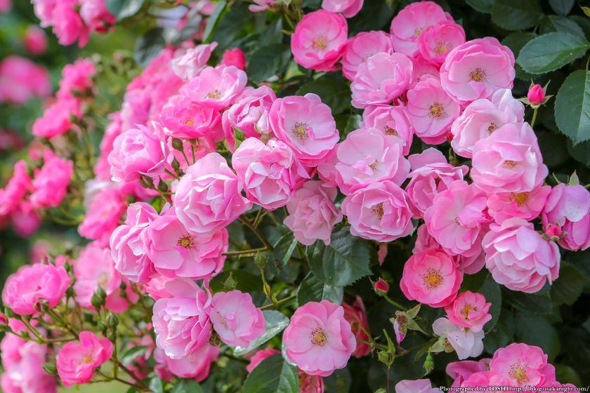 浜寺公園 ばら庭園 2013年5月 07