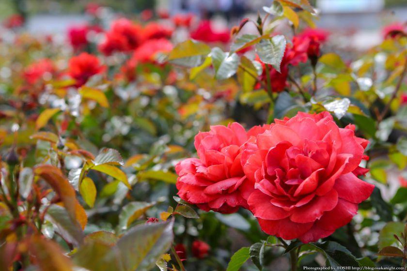 浜寺公園 ばら庭園 2013年5月 08