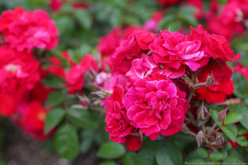 浜寺公園 ばら庭園 2013年5月 09