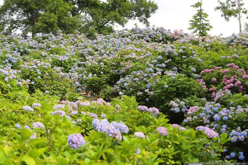 蜻蛉池公園 あじさい園 2013年6月 04