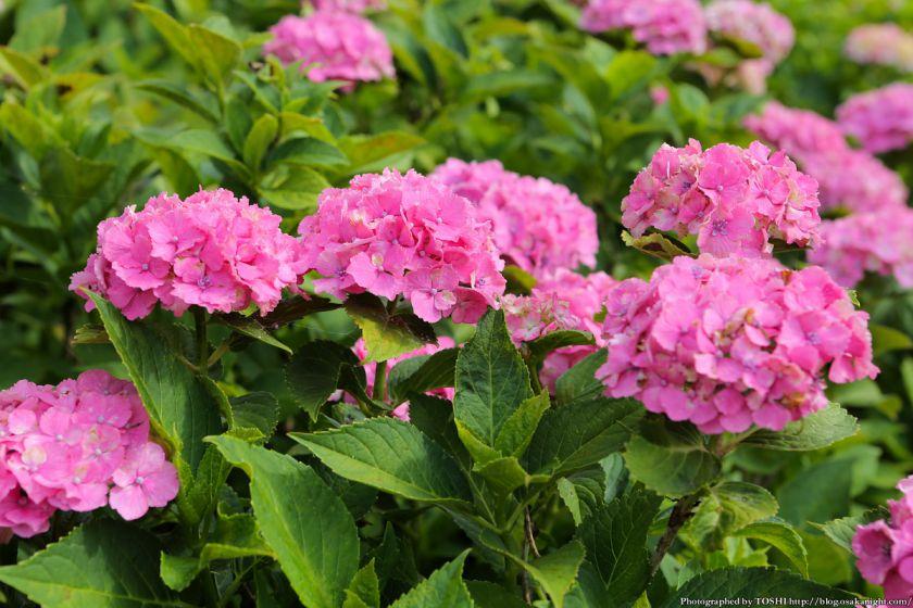 蜻蛉池公園 あじさい園 2013年6月 10